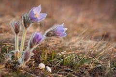 Wielcy pasque kwiaty z ślimaczek skorupami Fotografia Royalty Free