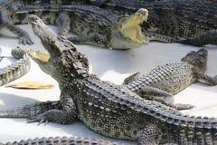 Wielcy słodkowodni krokodyle Fotografia Royalty Free
