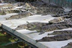 Wielcy słodkowodni krokodyle Zdjęcia Stock