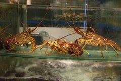 Wielcy Spiny homary Od oceanu spokojnego zdjęcie royalty free