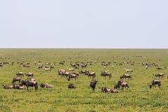 Wielcy stada w sawannie Serengeti Tanzania, Afryka Fotografia Stock