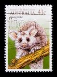 Wielcy Szybowcowi Schoinobates volans, zwierzęta wysoki kraju seria około 1990, Fotografia Stock