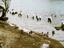 Wiele łabędź i dzikie kaczki fotografia stock