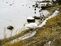 Wiele łabędź i dzikie kaczki zdjęcie royalty free
