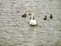 Wiele łabędź i dzikie kaczki obrazy royalty free