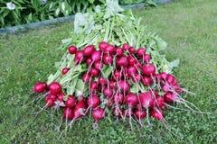 Wiele świeże czerwone rzodkwie z liśćmi Zdjęcie Royalty Free