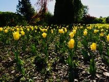 Wiele żółci tulipanów kwiaty Obrazy Royalty Free