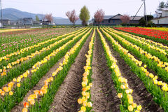 Wiele żółci tulipany nad niebieskim niebem Obrazy Stock