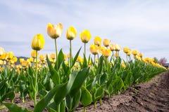 Wiele żółci tulipany nad niebieskim niebem Fotografia Stock