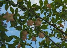 Wiele żółty Brugmansia dzwonił anioł trąbki lub datura kwiatu kwiat widzieć spod spodu zdjęcia royalty free