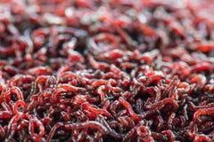 Wiele żywi dżdżownic bloodworms są czerwonym zbliżeniem fotografia stock