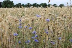Wiele błękitów kwiaty na polu banatka Zdjęcia Royalty Free