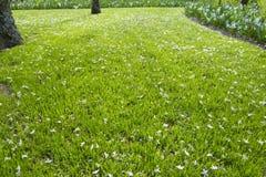Wiele biali mali kwiaty w odgórnym widoku trawa Fotografia Royalty Free