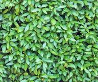 Wiele bobków liści tło Fotografia Royalty Free