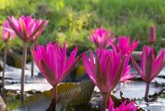 Wiele czerwony lotosowy kwiat w jeziorze Obrazy Stock