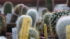 Wiele dekoracyjny kaktus dla tła zdjęcie wideo
