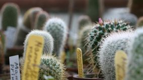 Wiele dekoracyjny kaktus dla tła zbiory wideo