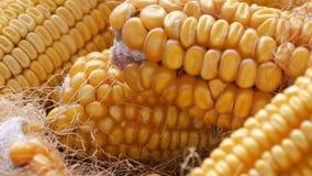 Wiele dojrzałe żółte kukurudz głowy w stajni Kukurudza Po żniwa kukurydza Produkcja Rolna zamknięta w górę widoku zbiory wideo