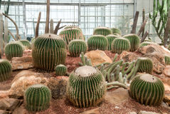 Wiele duży kaktus w szklarni Obraz Royalty Free