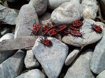 Wiele firebugs na skałach Zdjęcia Royalty Free
