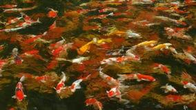 Wiele galanteryjne bzdur ryby relaksują w bardzo jasnej i czystej wodzie zbiory wideo