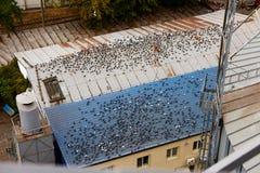 Wiele gołąbki siedzą na wielkich budynków dachach Udziały gołębia gówno na dachu Brudny housetop Miastowi miasto problemy wzór zdjęcia stock