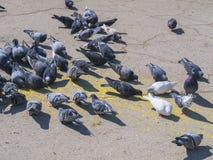 Wiele gołębi karma na miasto kwadracie Obraz Stock