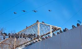 Wiele gołębie siedzi na dachu i linie energetyczne lubią ptasiego wojska zdjęcie stock