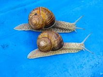 Wiele gronowi ślimaczki na kawałku błękit zdjęcia stock