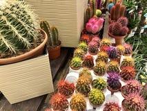 wiele jak salowy różny mali stubarwni kaktusy w kwiatu garnkach fotografia royalty free