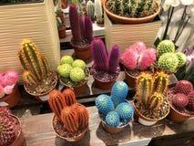 wiele jako salowe rośliny różny mali stubarwni kaktusy w kwiatów garnkach zdjęcie royalty free