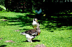 Wiele kaczki bawić się w świeżej trawie i zieleni Zdjęcie Royalty Free