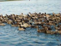 Wiele kaczki w rzece zdjęcie stock