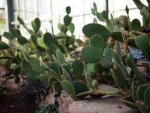 Wiele kaktusowa linia w wzorze Zdjęcia Royalty Free