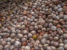 Wiele koks k?amaj? w cieniu drzewka palmowe fotografia stock