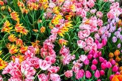 Wiele koloru tulipanowy kwiat Zdjęcia Stock