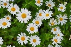 Wiele kwiatonośne stokrotki Obrazy Royalty Free