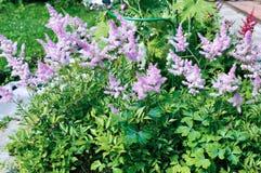 Wiele kwiatostany różowy Astilbe Obrazy Stock