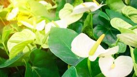 Wiele kwiaty Anthurium biel Zdjęcia Royalty Free