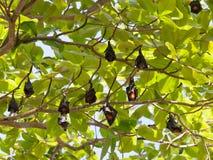 Wiele latający lisy Obraz Royalty Free