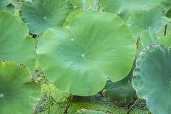 Wiele lotosów liście na stawie Lotosowy staw zdjęcia stock