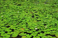 Wiele lotosowy liść Obrazy Royalty Free