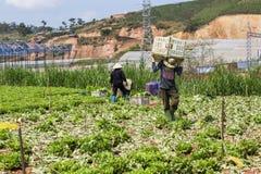 Wiele ludzie pracują na warzywa polu fotografia royalty free