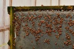 Wiele młodych ślimaczków rolni ślimaczki Zdjęcie Stock