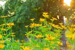 Wiele mały kolor żółty kwitnie w ogródzie Obraz Stock