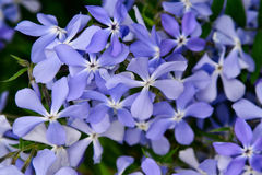 Wiele mały kwiecenia światło - purpura kwiaty Zdjęcia Royalty Free