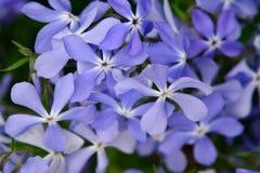 Wiele mały kwiecenia światło - purpura kwiaty Zakończenie, wiosny tło Zdjęcia Stock