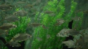Wiele Mystacoleucus marginatus łowi dopłynięcie w jasnej wodzie fluently zbiory wideo