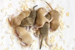 Wiele myszy mały śliczny spać Nowy uwolnienie przekonstruowywający dolarowy banknot zdjęcie stock