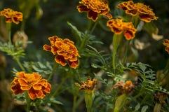 Wiele nagietki kwitną na jesień klombie zdjęcie stock